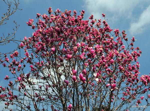 Colourful Magnolia tree,Kanagawa