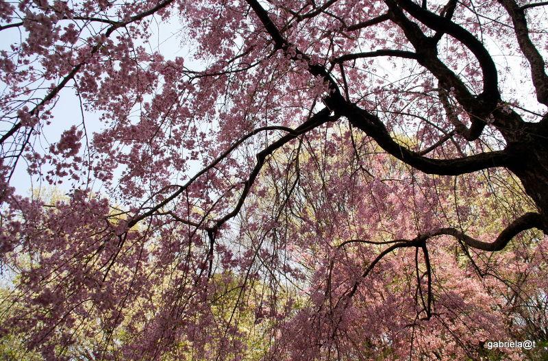 Cherry tree silhouette in bloom,Kanagawa