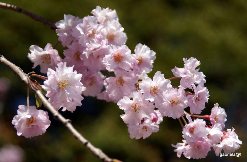Pink blossoms, cherry tree in spring,Kanagawa
