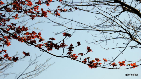 New leaves in the maple tree, Kanagawa