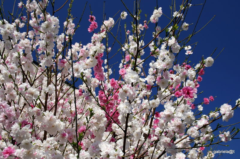 Spring blossoms, two colours-one tree,Kanagawa