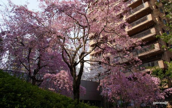 Cherry tree in bloom, Kanagawa