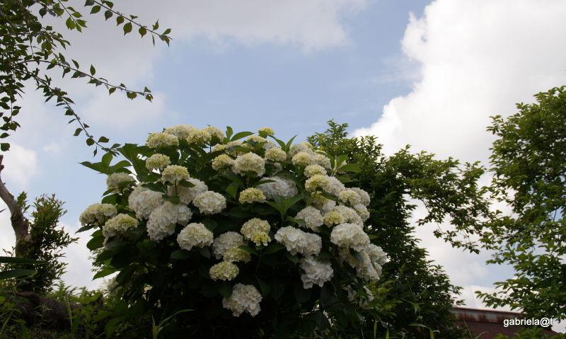 Blooming bush of white hydrangeas,Kanagawa