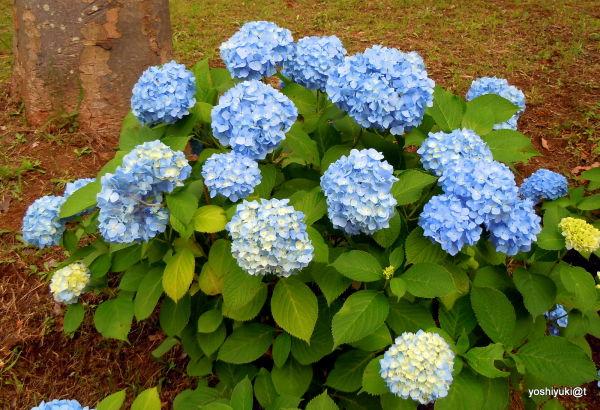 Blue hydrangeas in June, Kanagawa
