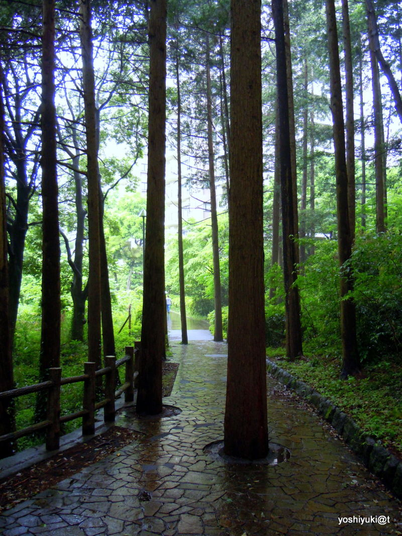 Cedar grove in the rain,Kanagawa