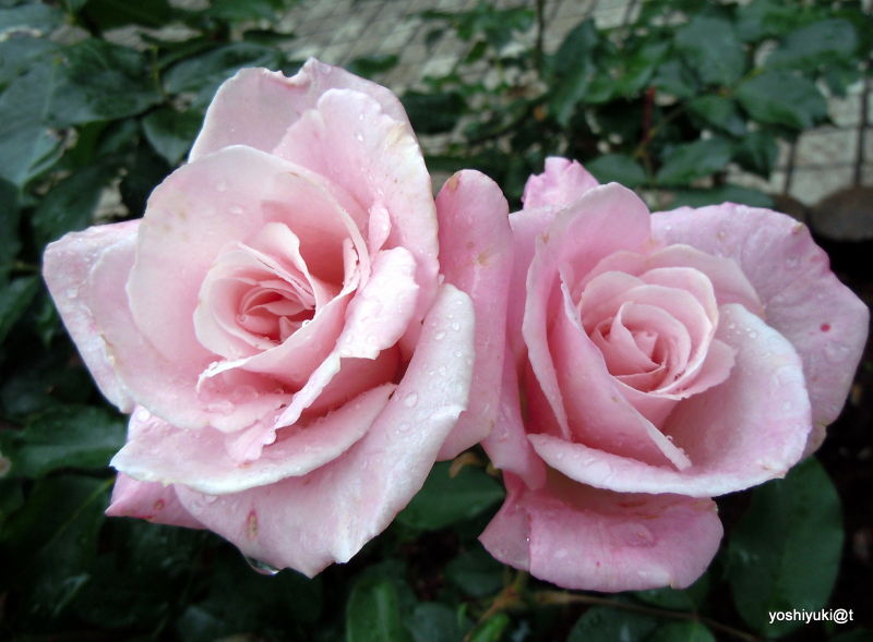 Roses in the rain,Kanagawa