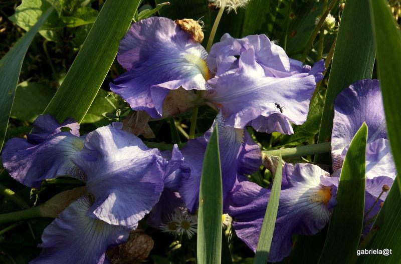 Sleeping bearded iris blooms, Kanagawa