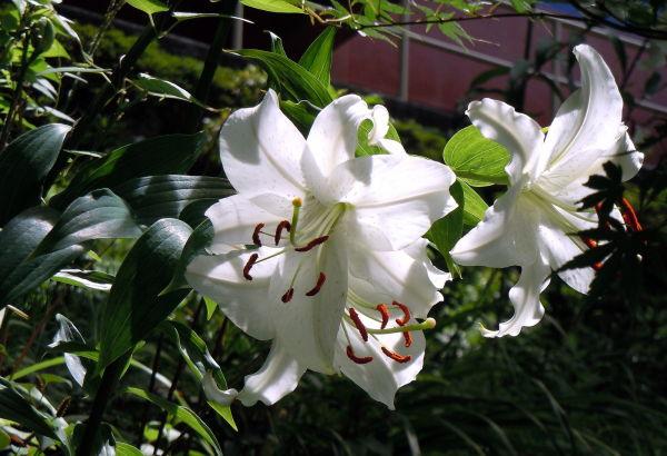 Oriental lily, Kanagawa