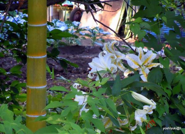 Lilies and bamboo in a garden, Kanagawa