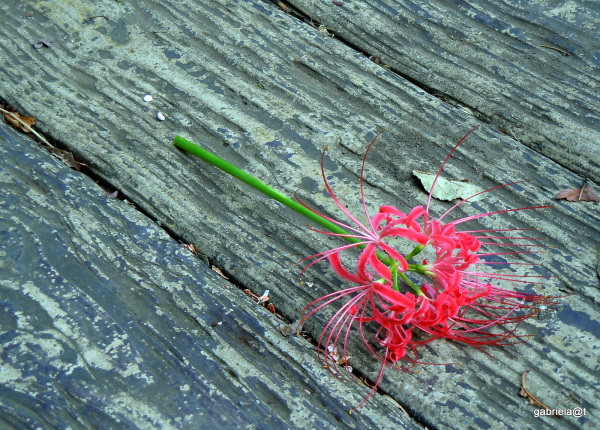Composition with a spider lily