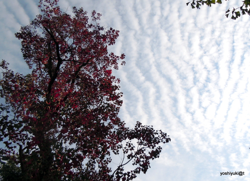 Tree blushing under an autumn sky,Kanagawa