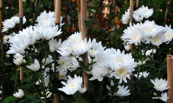 White 'mums in the garden,Kanagawa