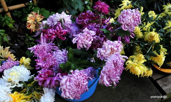A variety of chrysanthemums, Kanagawa
