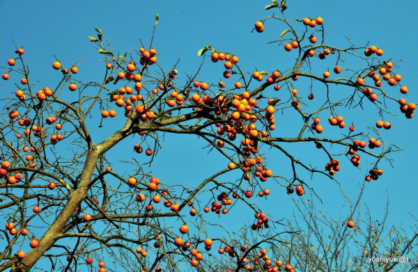Persimmons on a blue sky, Kanagawa