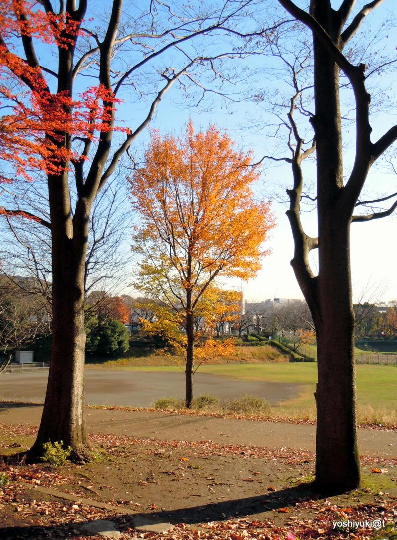 Trees in December colours,Kanagawa