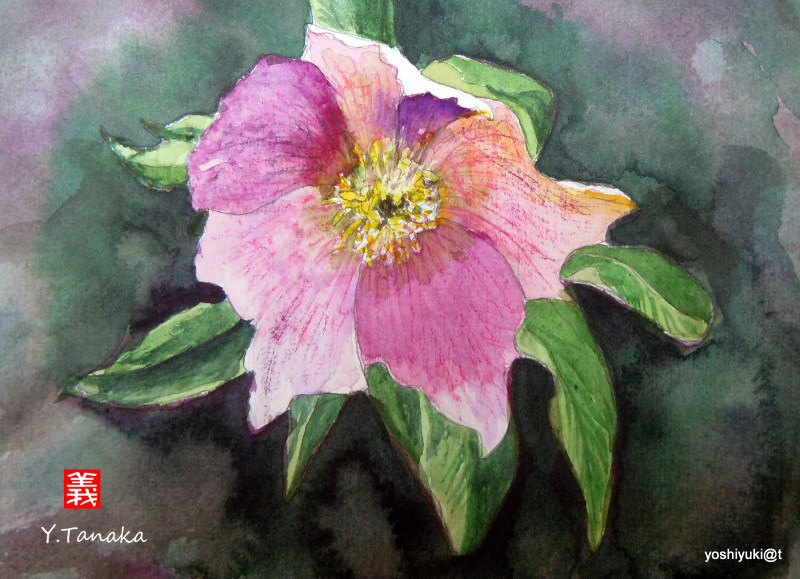 Christmas Rose - a watercolour