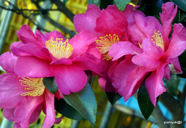 Camellia sassanqua - The Winter Rose