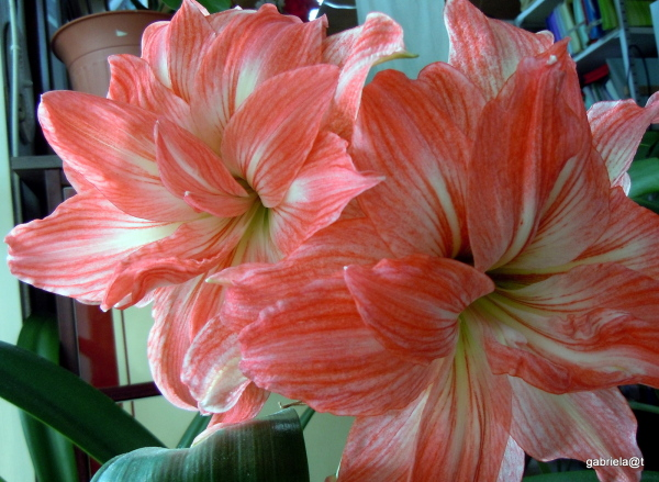 My Lady Jane Amaryllis in bloom this year