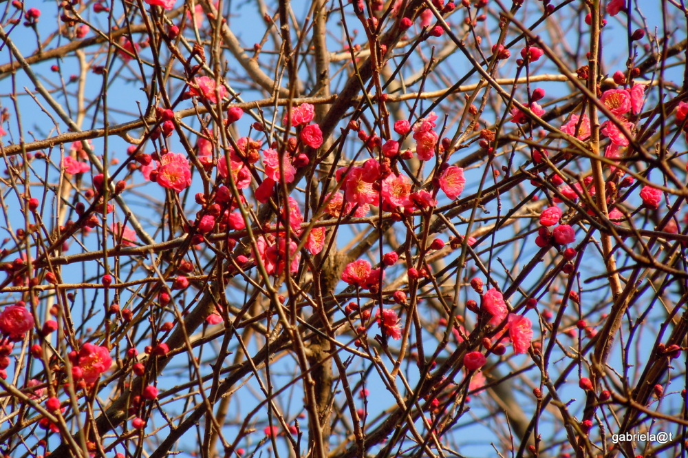 Japanese Apricot, early bloomers