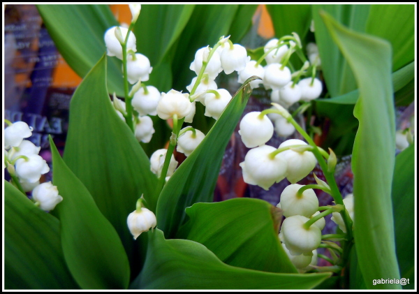 Lily-of-the-valley, blooms among leaves