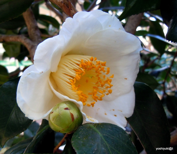 White camellia japonica in bloom