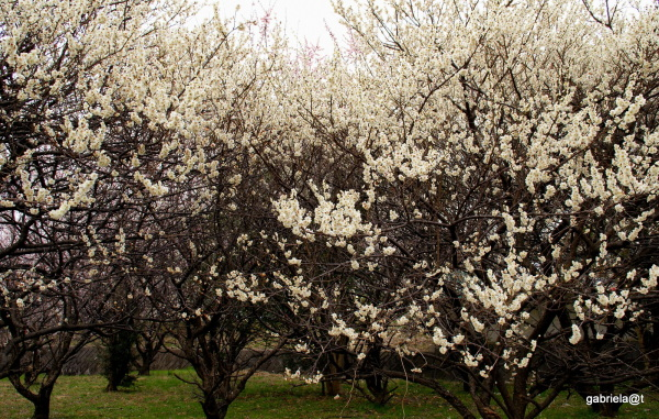 Orchard in full bloom, Japanese plum
