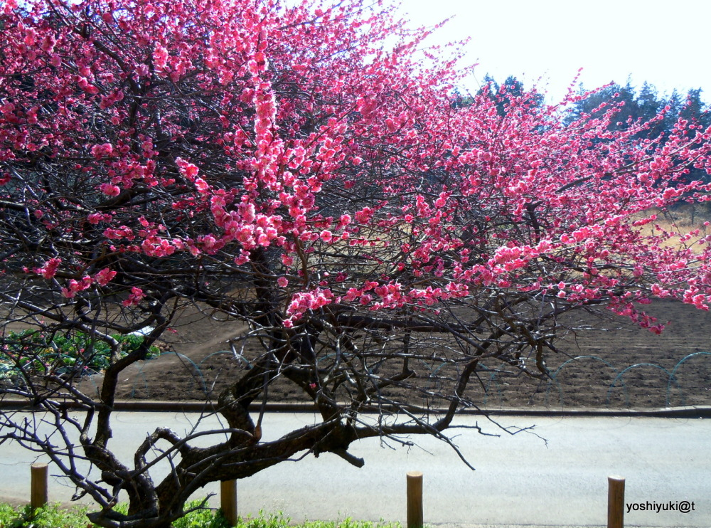 Japanese plum in full bloom