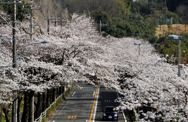Time for cherry blossoms and hanami, Kanagawa
