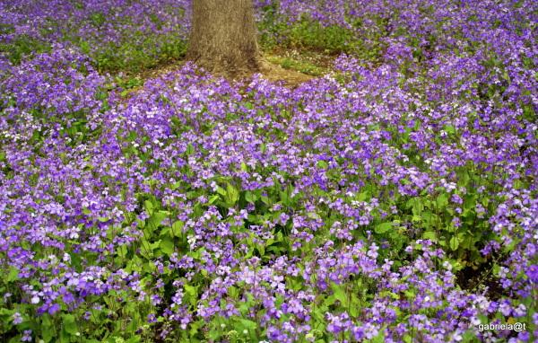 Secret Stream garden with Chinese violet cress
