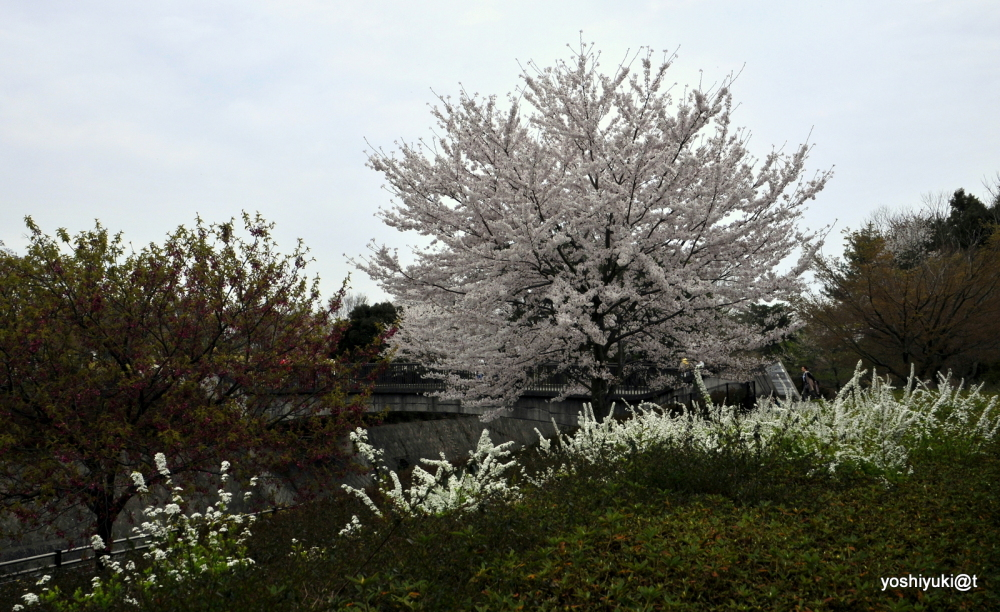 The greatest treasure in spring:cherry blossoms
