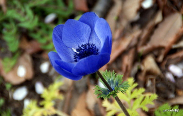 The bluest blue of an anemone