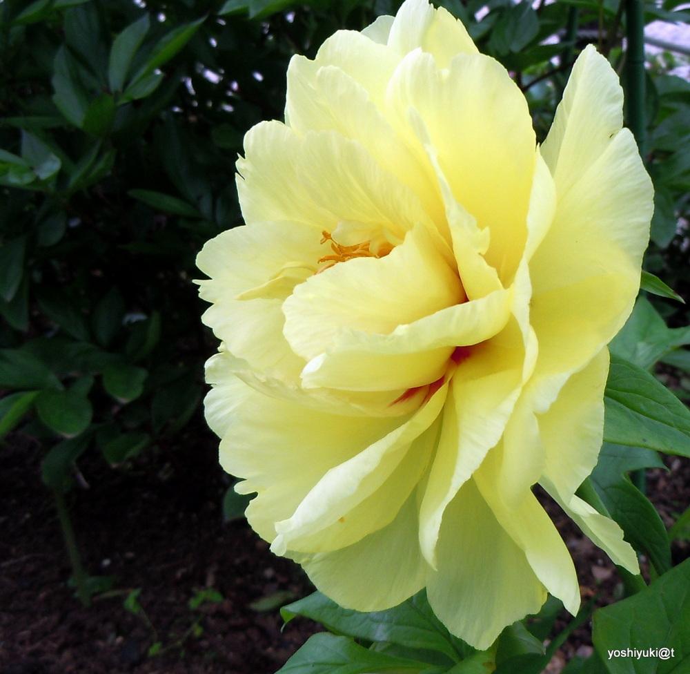 Yellow peony - a profile