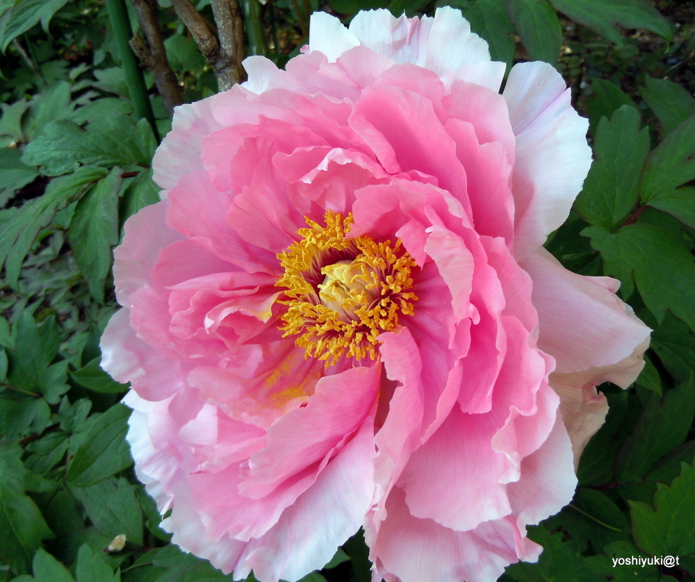 Peony, a pink bloom