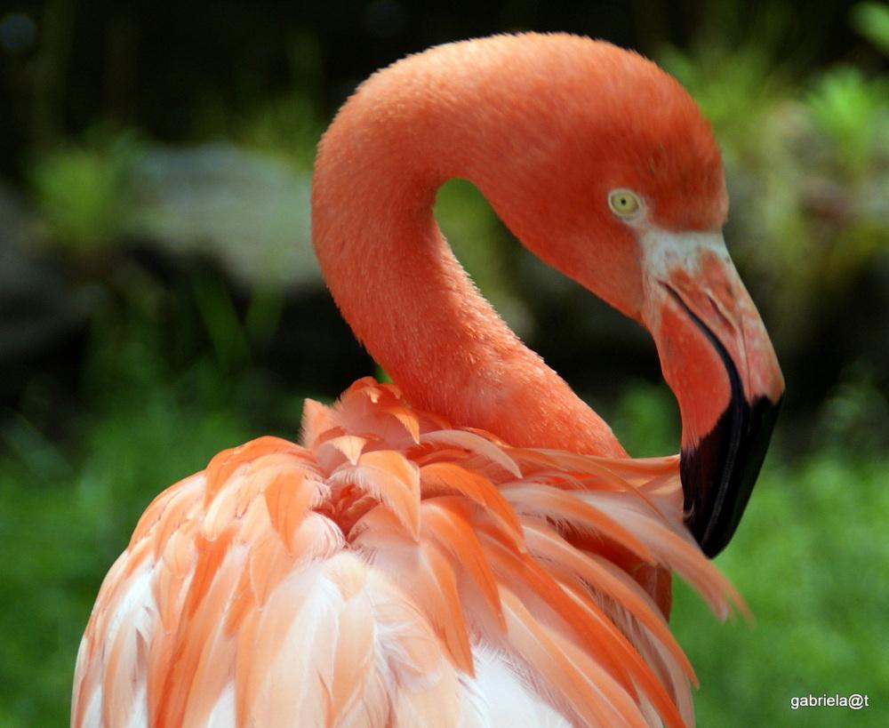 A very red flamingo, Asahiyama Zoo, Asahikawa