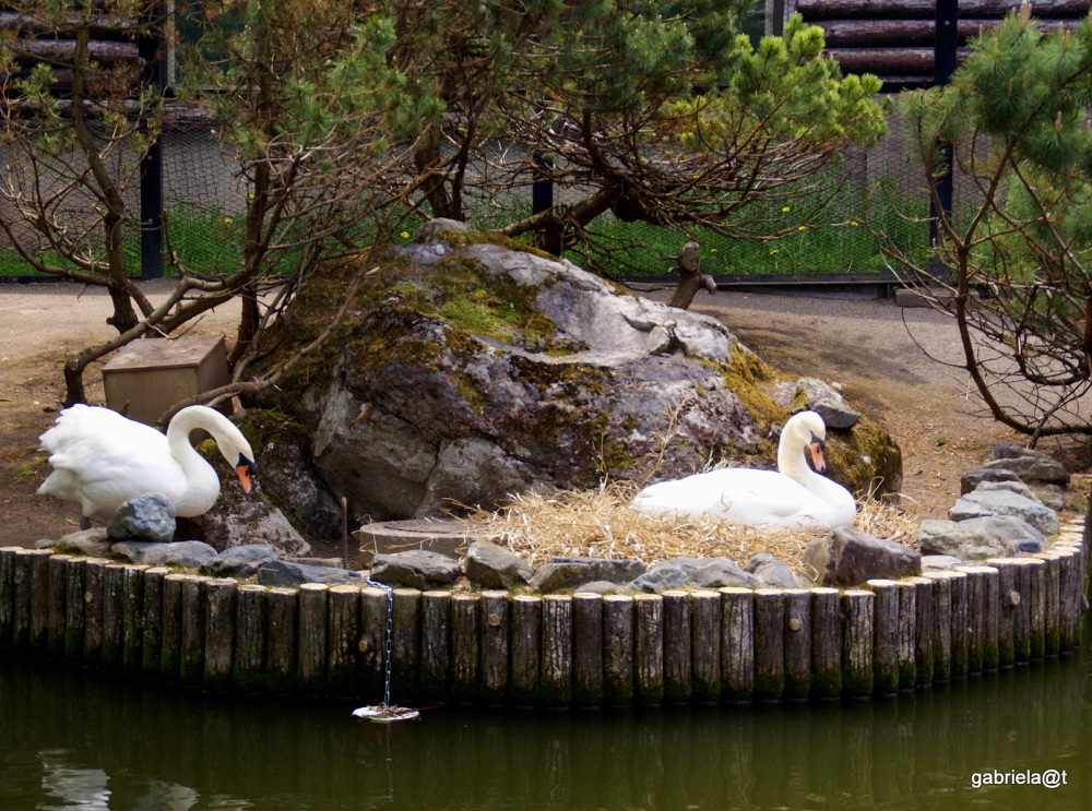 Swan family - soon to be parents