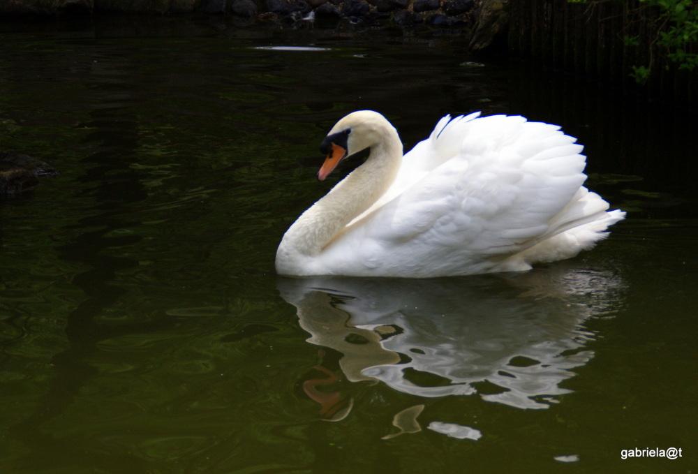 Mute male swan, Asahiyama Zoo, Asahikawa,Hokkaido