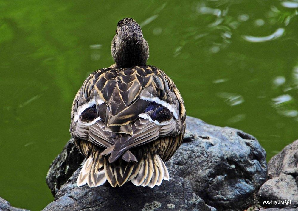 Duck sitting on the pond shore, Asahiyama zoo
