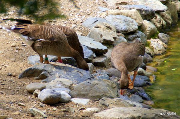 Geese feeding by the pond,Asahiyama Zoo,Hokkaido