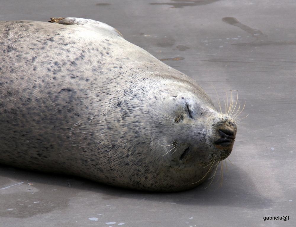 Seal asleep, Asahiyama zoo, Hokkaido