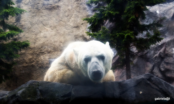 Polar Bear at Asahiyama Zoo, Hokkaido