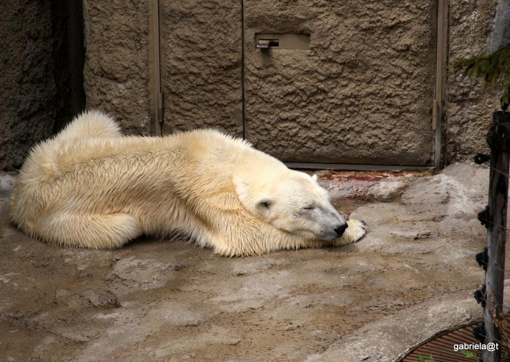 Polar bear asleep, Asahiyama Zoo, Hokkaido
