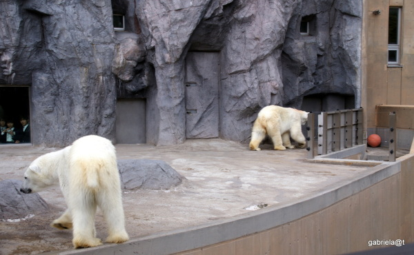 Polar bears in their enclosure, Asahiyama Zoo