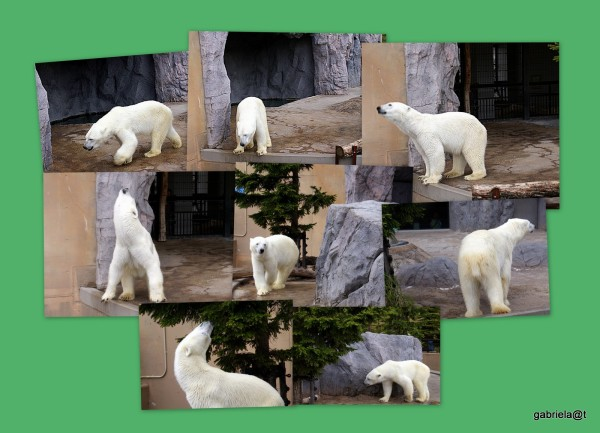 Polar bear movements, Asahiyama Zoo