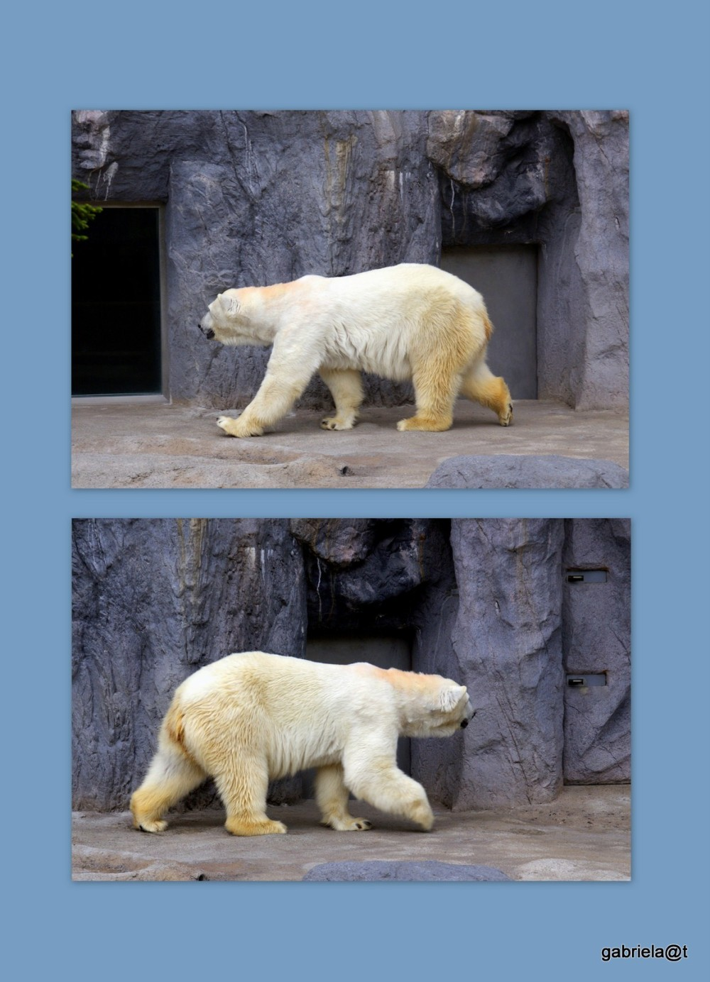 Bear at the Polar Bears House at Asahiyama Zoo