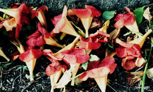 Carpet of fallen flowers, end of summer