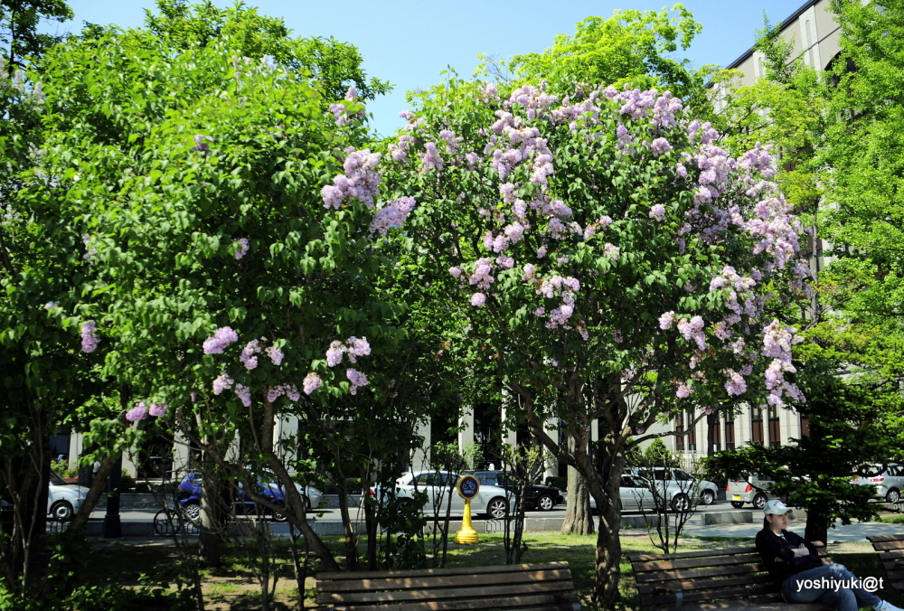The lilac trees along Odori Park, Sapporo,Hokkaido