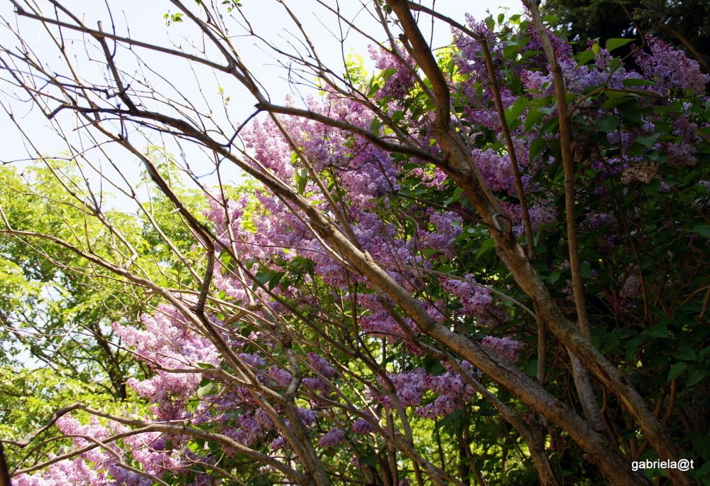 Lilac trees in bloom,Nakajima Park, Sapporo