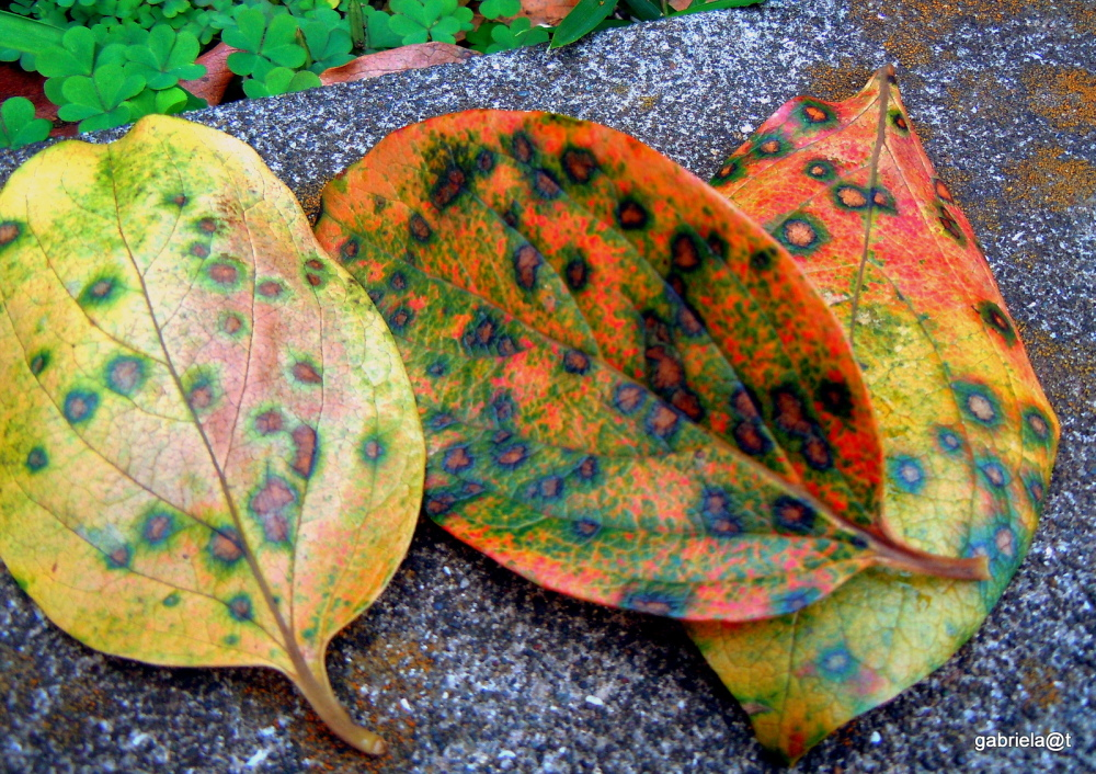 Autumn colours in the leaves - one
