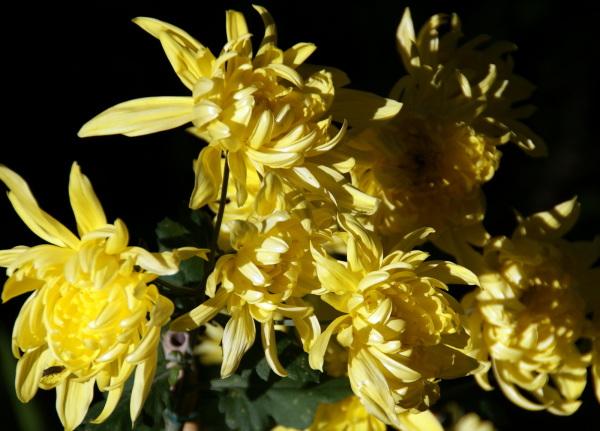 Chrysanthemums, in yellow