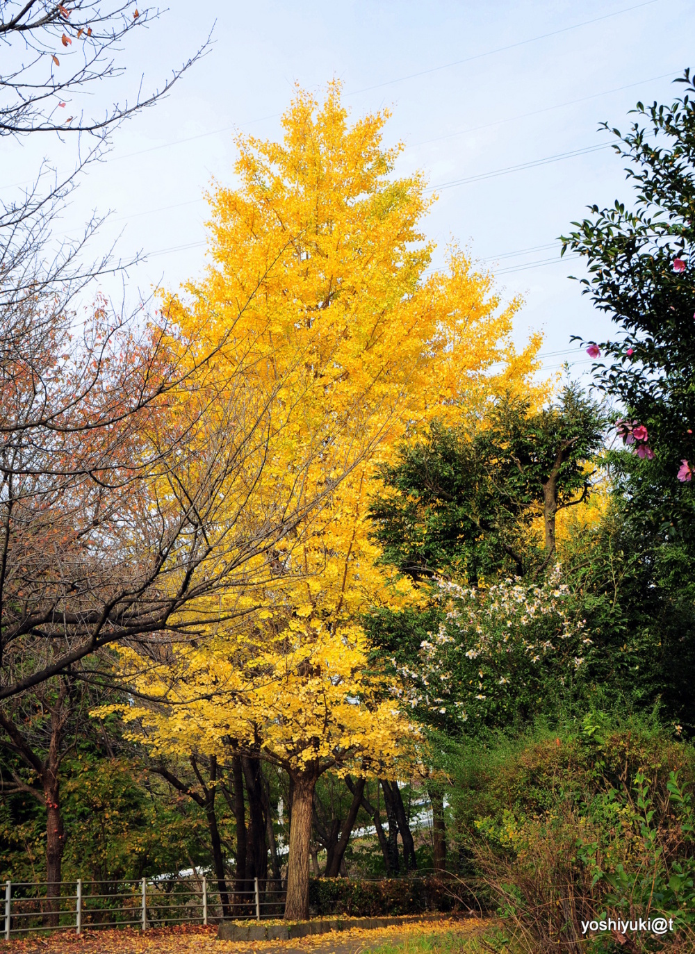 The trees wearing gold leaves - gingko trees
